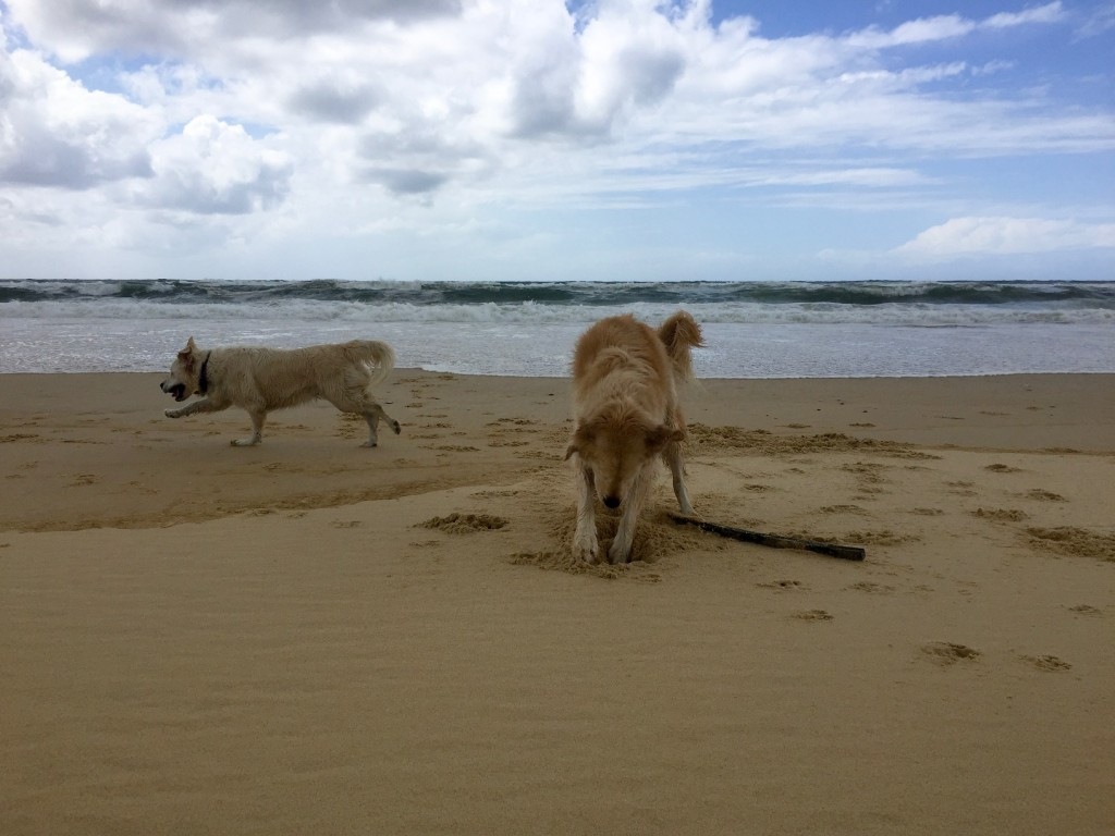 Harvey & Chloe on the beach , Landes, France