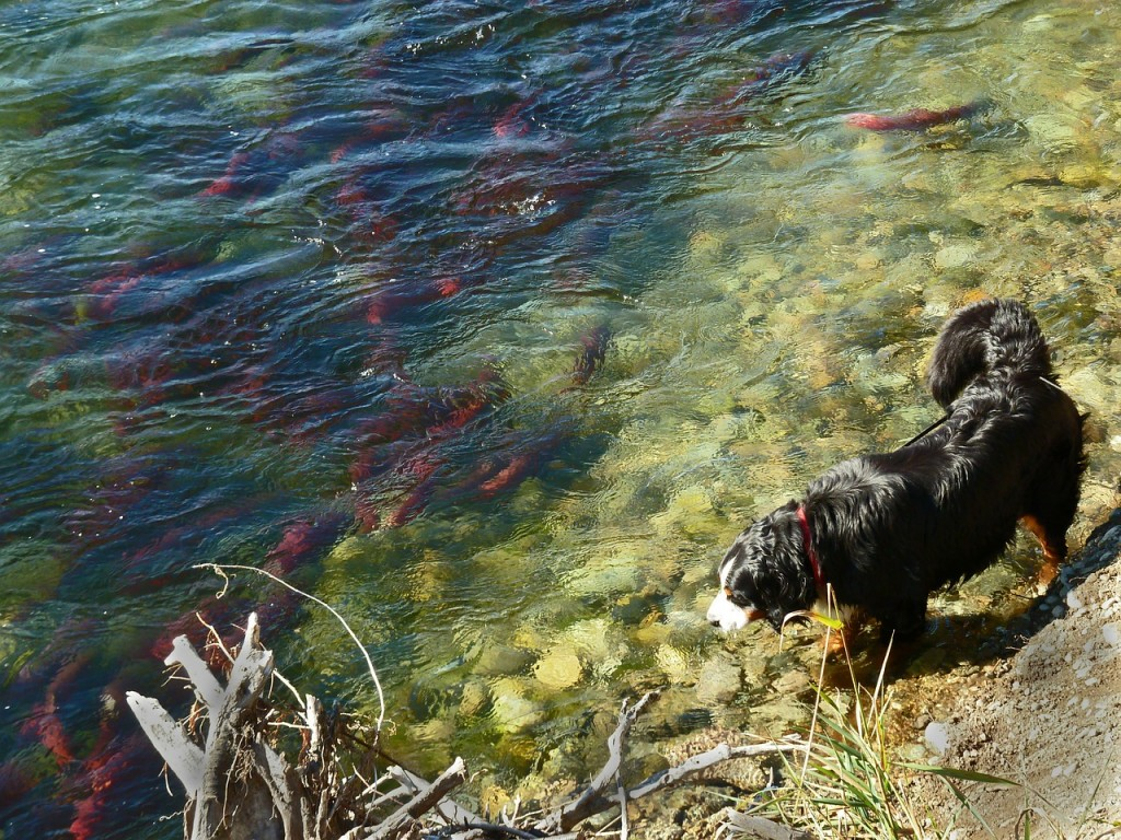 dog hunting salmon, Canada